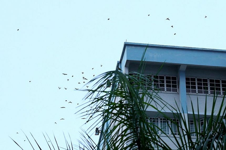 Wagtails spotted near HDB blocks in Yishun on Friday evening, before they swooped down to the palm trees.