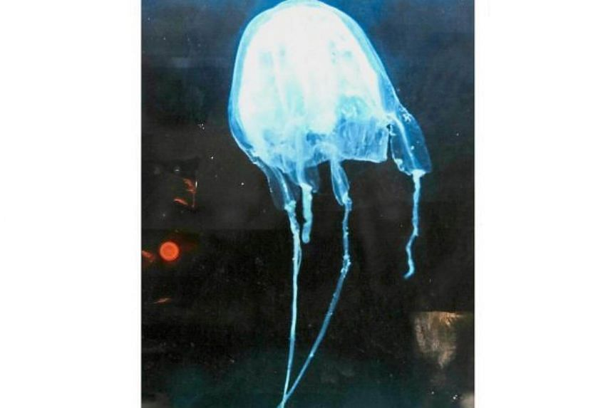 A picture of a box jellyfish from the Morbakka genus at USM's Centre For Marine and Coastal Studies (CEMACS) in Teluk Bahang, Penang.