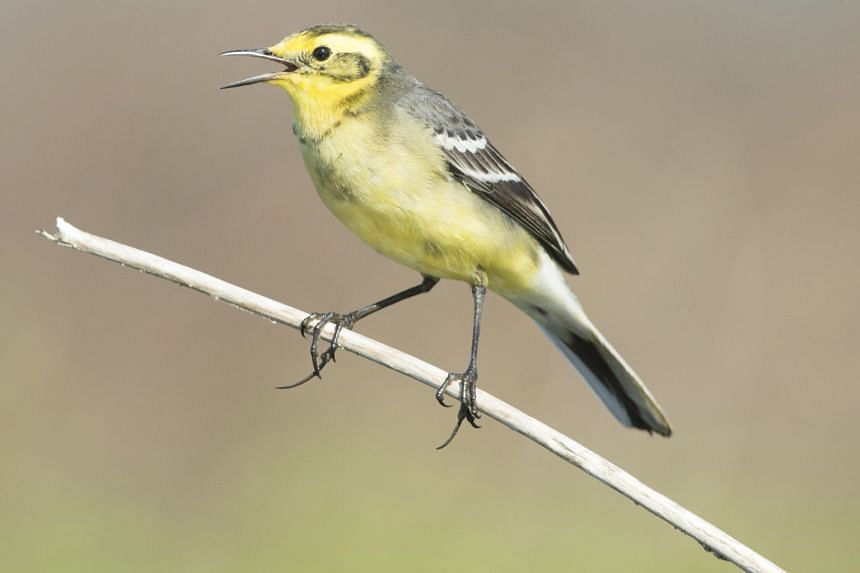 The eastern yellow wagtail is among the four wagtail species seen in Yishun.