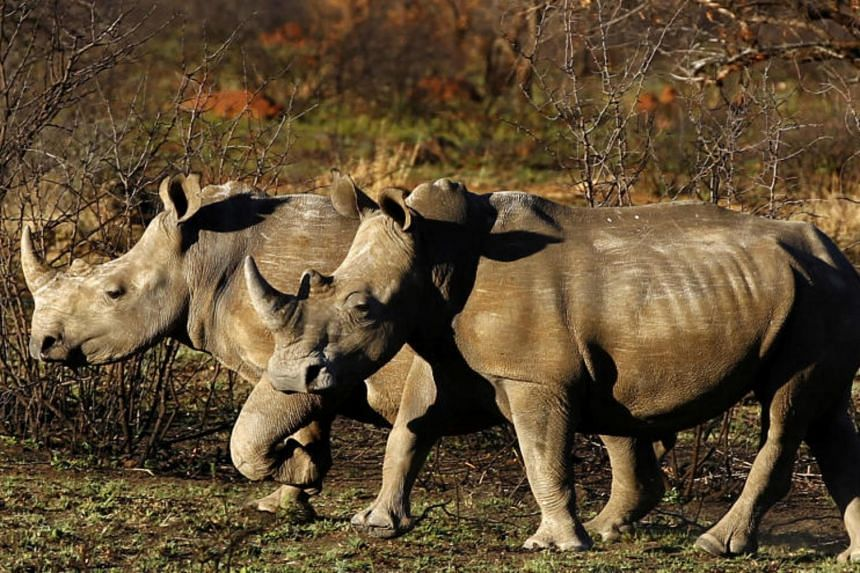 Africa has two rhino species of which the white rhino is the larger and more numerous of the two. The black rhino is famed for its ornery disposition and is far more apt to charge at any perceived threat.