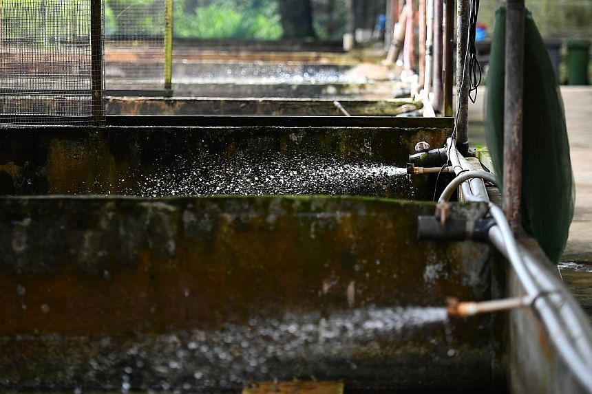 At Jurong Frog Farm, water constantly spurts out of pipes into dozens of concrete tanks. This constant circulation of water, which comes from a well and reservoir on the farm's premises, keeps the water fresh.