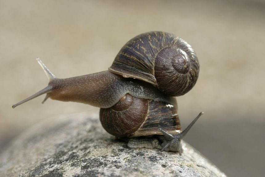 Jeremy, a rare left-coiled-shell brown garden snail, atop a more usual right-coiled snail.