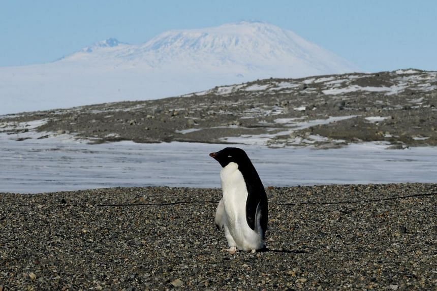 A file photo of an Adelie penguin arriving at the New Harbor research station near McMurdo Station in Antarctica. Adelie penguins have been declining in the Antarctic region more generally where climate change has taken its toll.