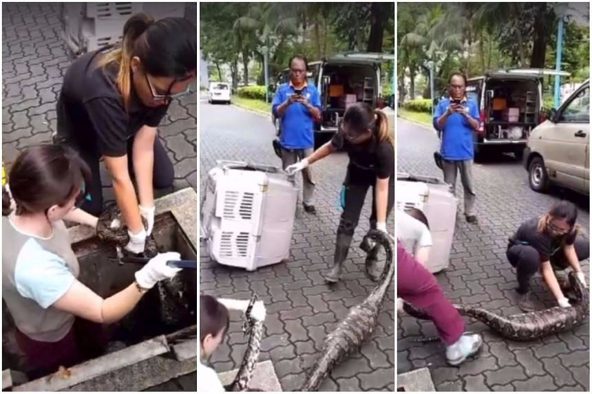 The women are seen here extricating a snake from a drain in Jurong on Monday (Oct 9).