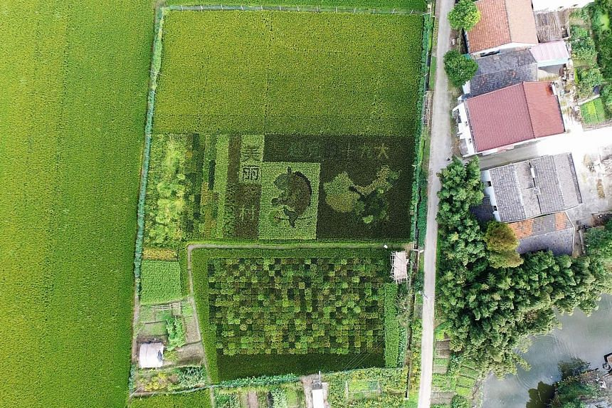 """A map of China and the words """"welcoming the 19th Party Congress"""" created with different kinds of rice in a padi field in Shanghai. President Xi Jinping is expected to further strengthen his power at the Chinese Communist Party congress next week."""