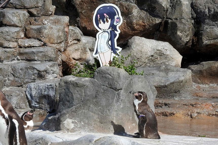 Penguin Grape shot to fame after it fell in love with a cardboard cut-out of Hululu, a character from the Japanese anime Kemono Friends, and stood staring at it for hours.