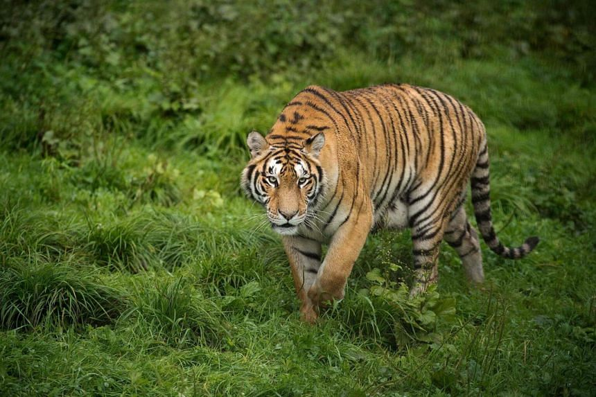 The tiger named Kala, was initially captured in July after killing two villagers and injuring four others in Brahmapuri in Maharashtra state.