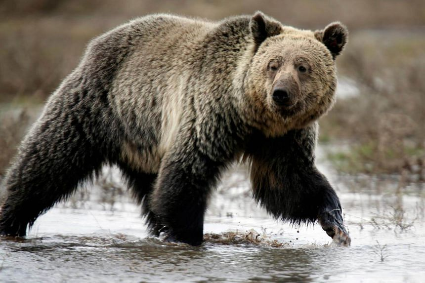 Forestry authorities on Sakhalin island last week said 83 bears had to be shot dead because they were hostile, a figure that has nearly tripled from last year.