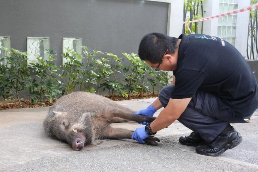 The wild boar was hit by a passing bus and died from its injuries after the attack.