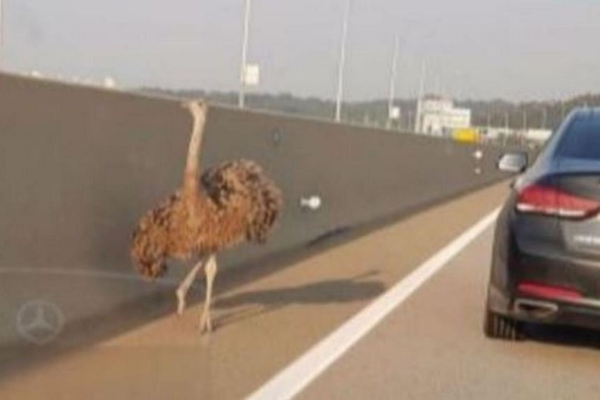 The ostrich was spotted running loose along a major expressway.