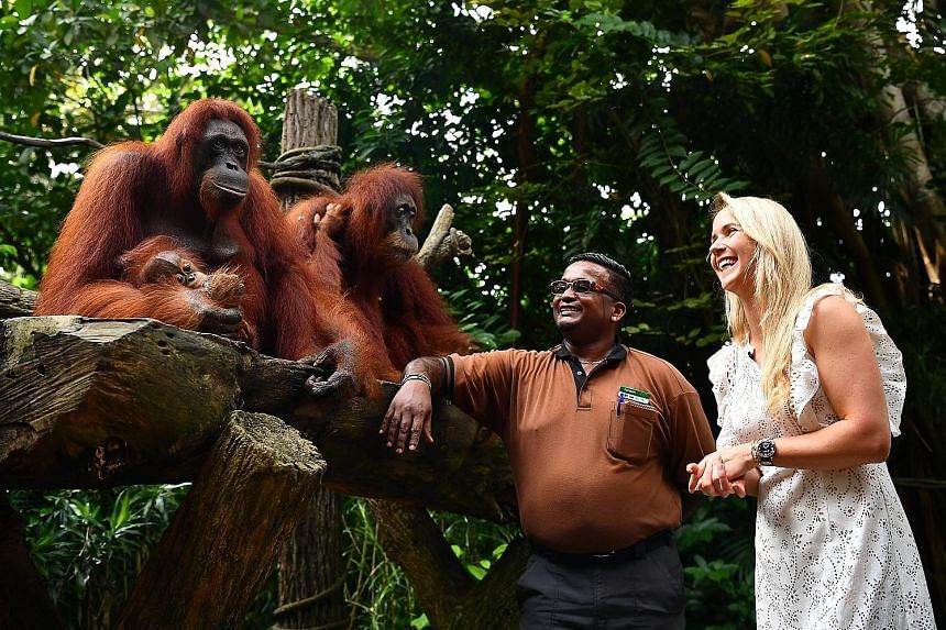 Kumaran Sesshe, head keeper of great apes, introducing the orangutans to Elina Svitolina during the tennis player's visit to the Singapore Zoo yesterday. She is in Singapore to play in the WTA Finals, which starts on Sunday.