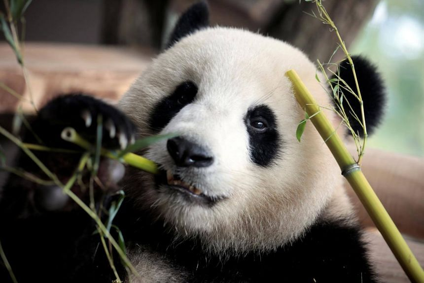 Meng Meng, one of the two giant Chinese panda bears, at the Zoo in Berlin, Germany, on July 5, 2017.
