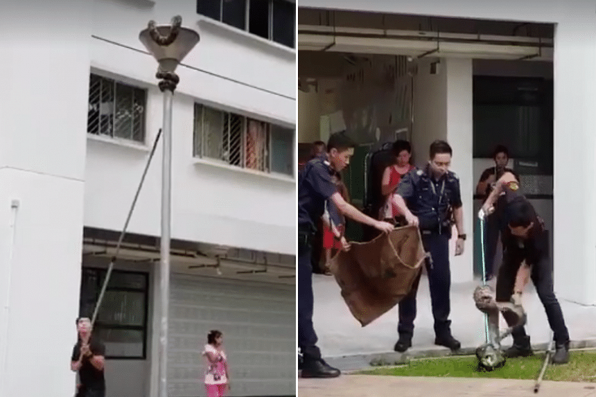The snake was coiled around a lamp post at Block 419, Bukit Batok West Avenue 2, on Monday (Oct 23).