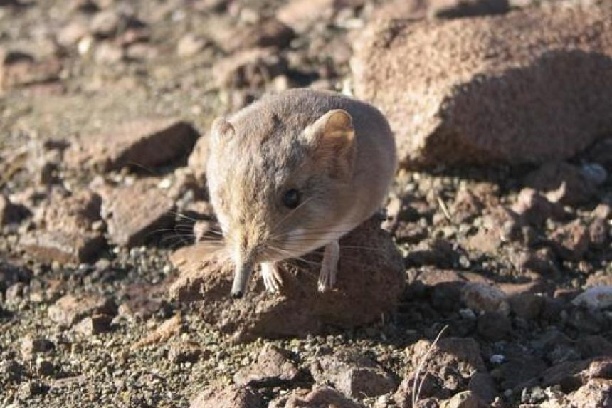 A Macroscelides micus elephant shrew found in the remote deserts of southwestern Africa.