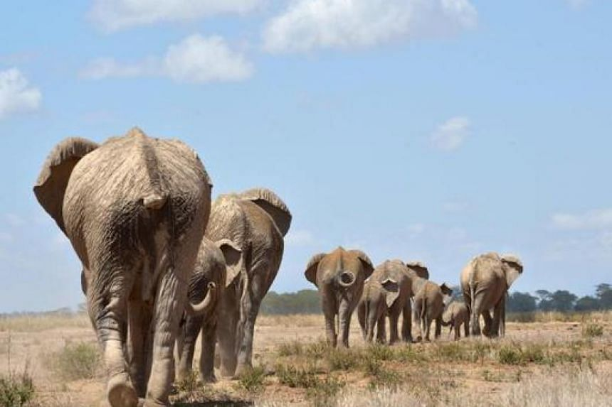 The African elephants population has dropped by 111,000 due to poaching activities.