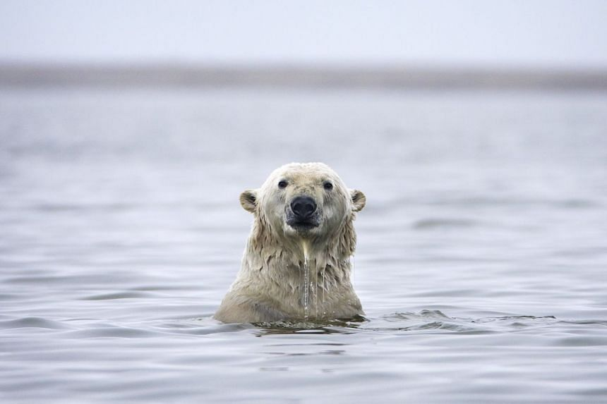 A polar bear swims in the waters off a barrier island in the Arctic National Wildlife Refuge.