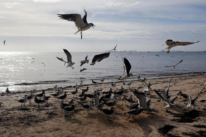 Birds are seen on a beach after Tropical Storm Nate in Cancun, Mexico October 7, 2017.
