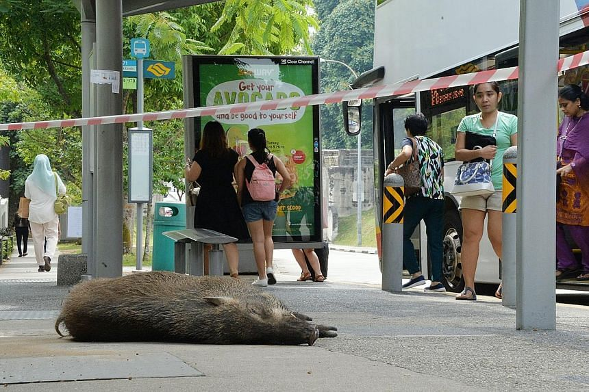The wild boar (above, left) that attacked Mr Michael Jin last Thursday died after it was hit by a passing bus. On Tuesday, Mr Jin received a visit from Ms Low Yen Ling in hospital.