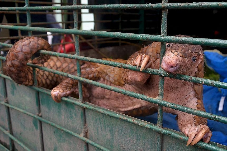Conservationists estimate the pangolins seized in Pekanbaru to be worth US$1.5 million (S$2 million).