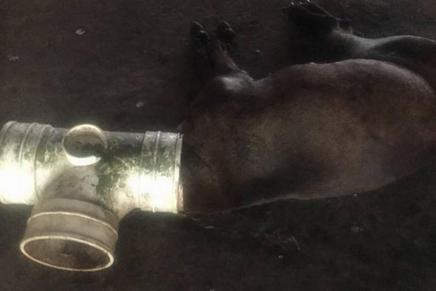 The dog was found in a canal with its head shoved inside a T-shaped pipe on Oct 19, 2017.