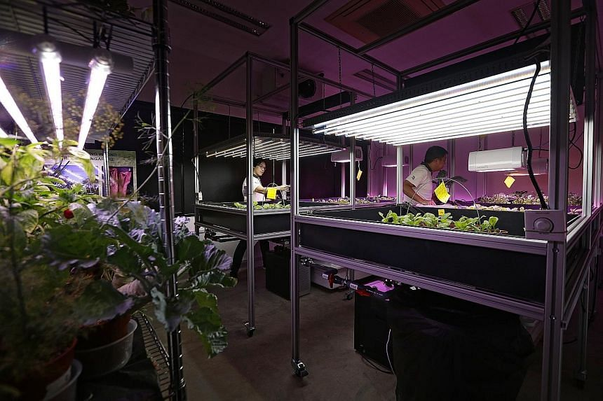 The grow room set up by NParks at HortPark, where horticulturists are studying how effective LED lights are in promoting plant growth under indoor conditions. The study started in April and the team has almost completed its first batch of experiments