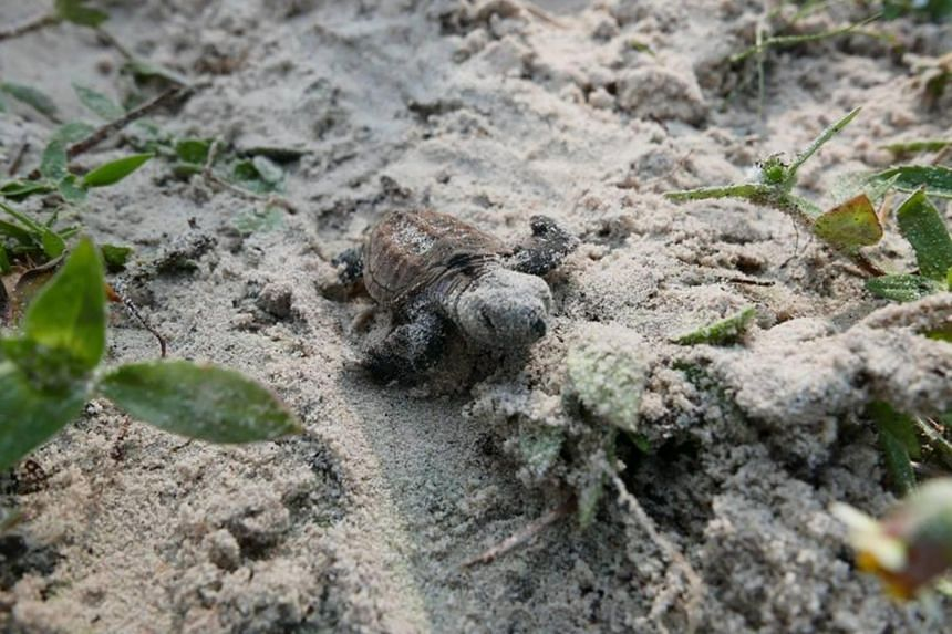 The turtle eggs were discovered 54 days ago on Sept 8, when a volunteer noticed a monitor lizard eating them.