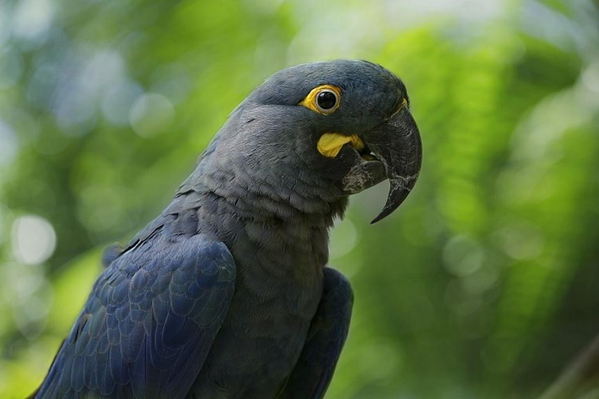 The endangered Lear's Macaw is distinguishable by its yellow teardrop-shaped marking near its beak.