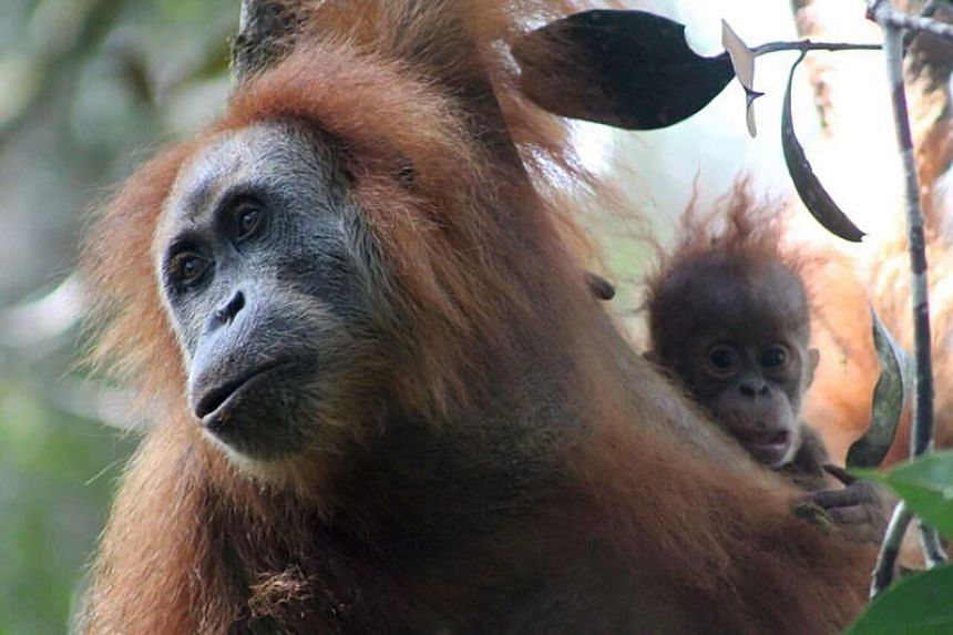 The Tapanuli orangutan, which is genetically and morphologically distinct from both Bornean and Sumatran orangutans, and therefore is a separate species at the Batang Toru Ecosystem in North Sumatra, south of Lake Toba.