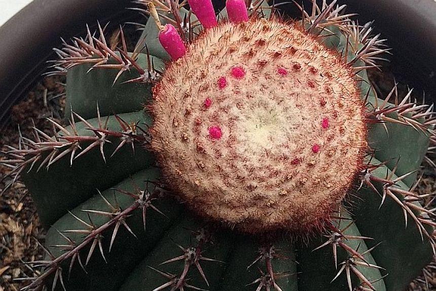 The cactus is botanically known as Melocactus conoideus.