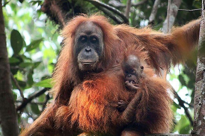 The Tapanuli orang utans at the Batang Toru Ecosystem in North Sumatra. Their tiny population is under severe threat.