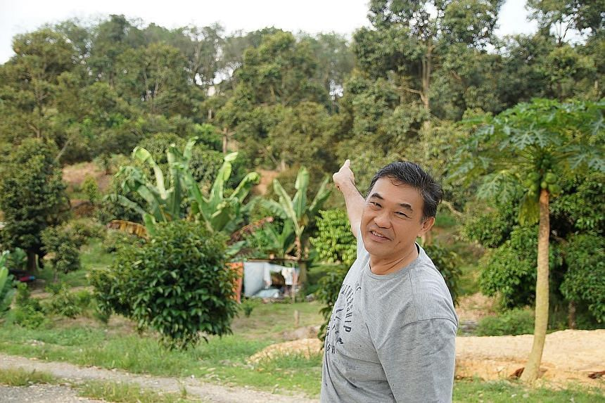 Left: Orchard owner Jimmy Loke pointing out durian trees on his farm in Bentong. Durians are drawing Chinese tourists to Malaysia's New Villages, with some willing to pay up to RM100 (S$32) a kilogram for the Musang King variety. Top and above: A sin
