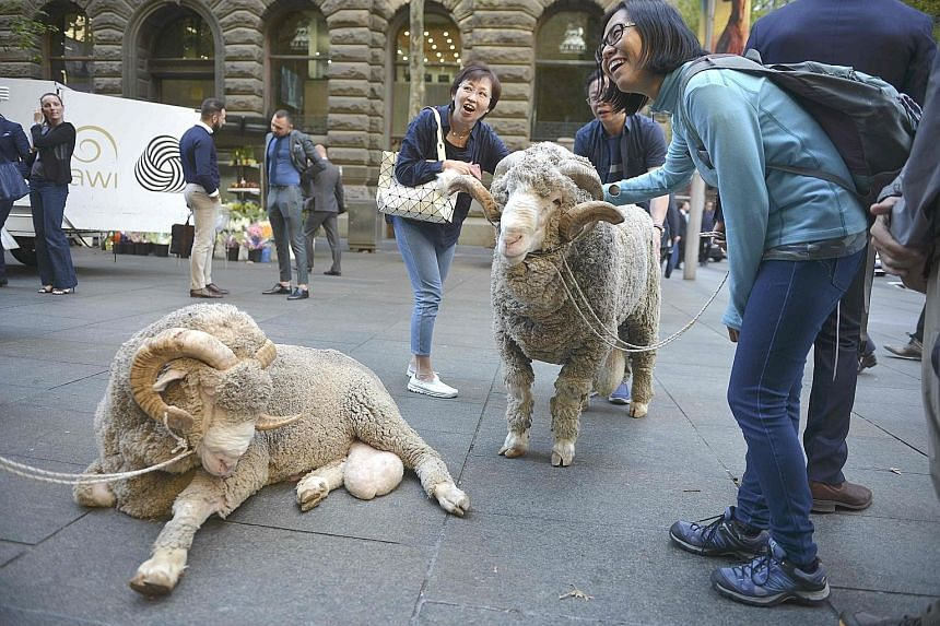 The Australian Wool Innovation's display of merino sheep catching the attention of Chinese tourists in Sydney. Overall, about 1.31 million Chinese visitors arrived in Australia in the year to August.