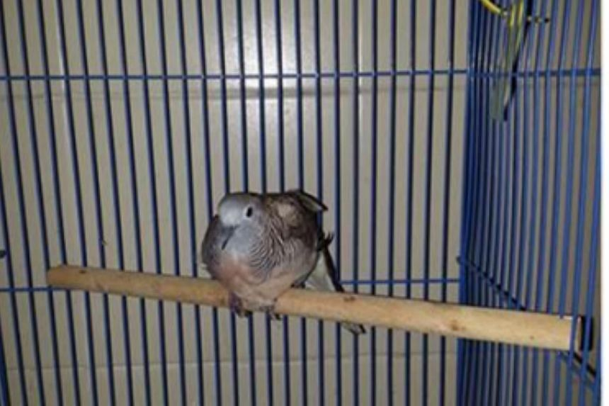 Without any food and water, the zebra dove had experienced significant stress.