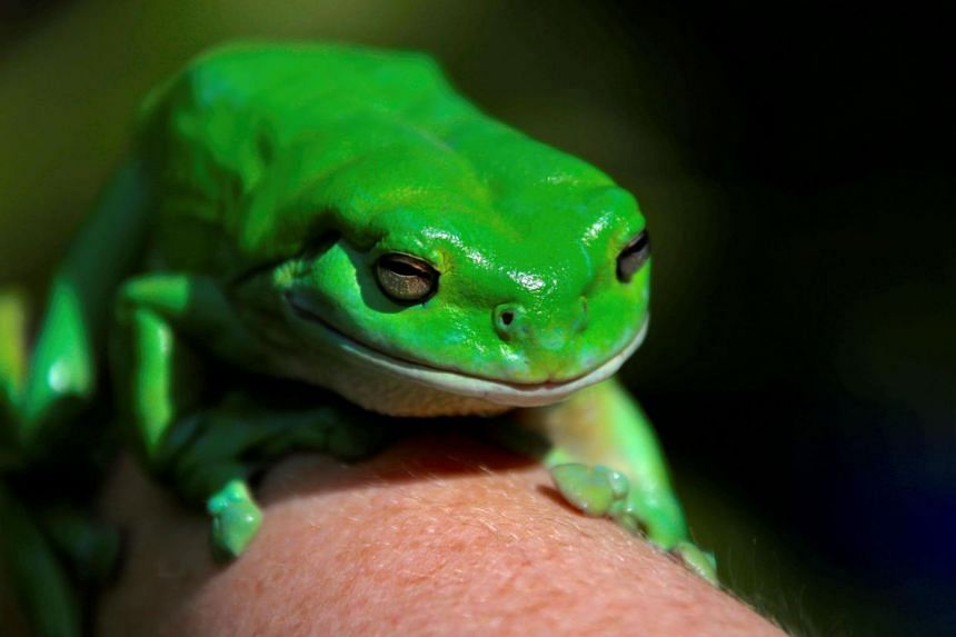 The Australian Museum has teamed up with computer giant IBM to count the country's native frog population.
