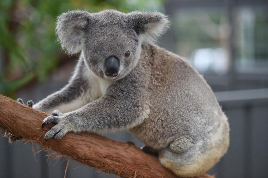 A file photo taken on April 28, 2016, shows a koala who goes by the name of Oxley Kaylee who lost an eye and her left hind leg amputated after being hit by a car resides at the Koala Hospital in Port Macquarie. A koala has been found dead in Australi