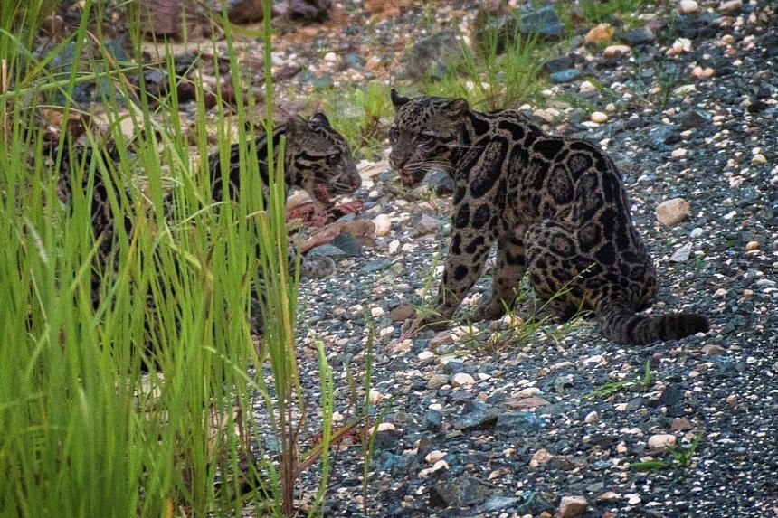 The leopards are found only on the South-east Asian islands of Borneo and Sumatra.