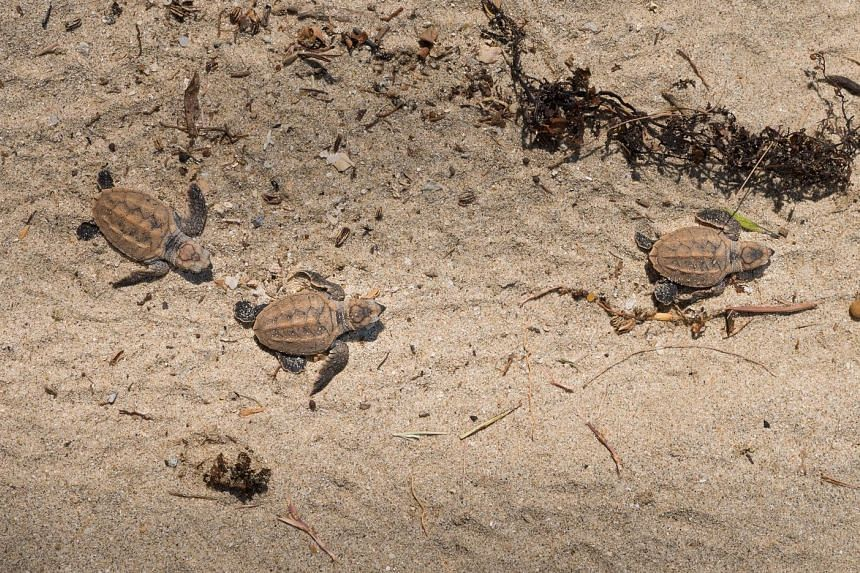 Of the 141 eggs, 100 hatched on Oct 18. The baby turtles were released onto a beach where they crawled towards the water themselves.