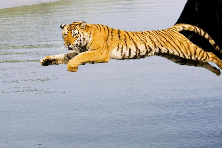 A wild tigress rescued from a village being released in the Sunderbans National Park in India.