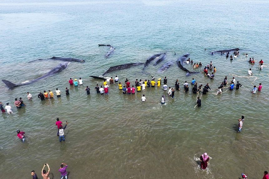 Indonesian officers from the Nature Conservation Agency (BKSDA) and environmental activists trying to refloat nine stranded sperm whales in Aceh Besar.