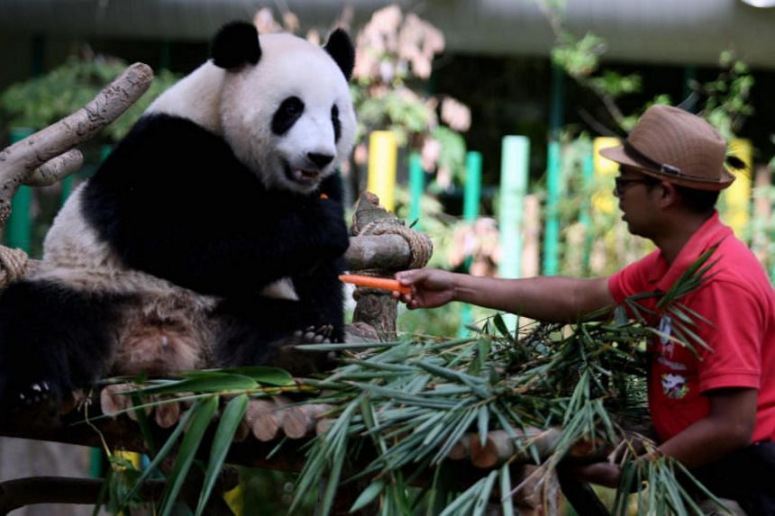 China's agreement with Malaysia provides that cubs born in captivity must be handed back at the age of two.