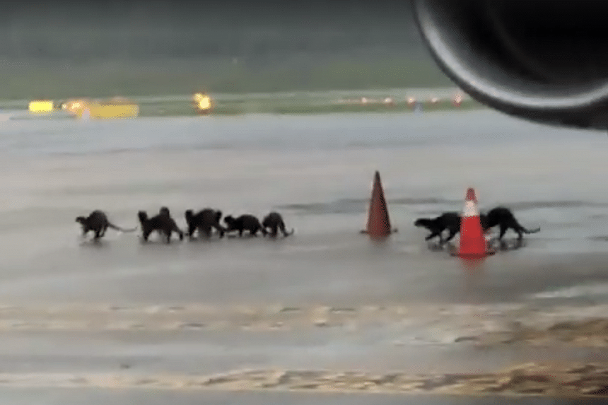 A spokesman said that otter sightings are a rare occurrence on Changi's premises.
