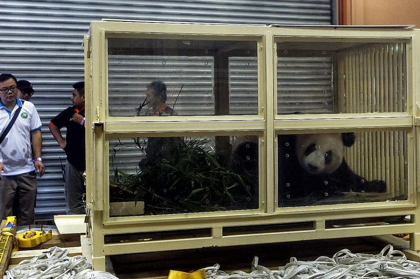 """Giant panda cub Nuan Nuan, whose name means """"warmth"""", was headed to its parents' home country of China yesterday in a special container where it was seen lying on its stomach surrounded by bamboo shoots."""