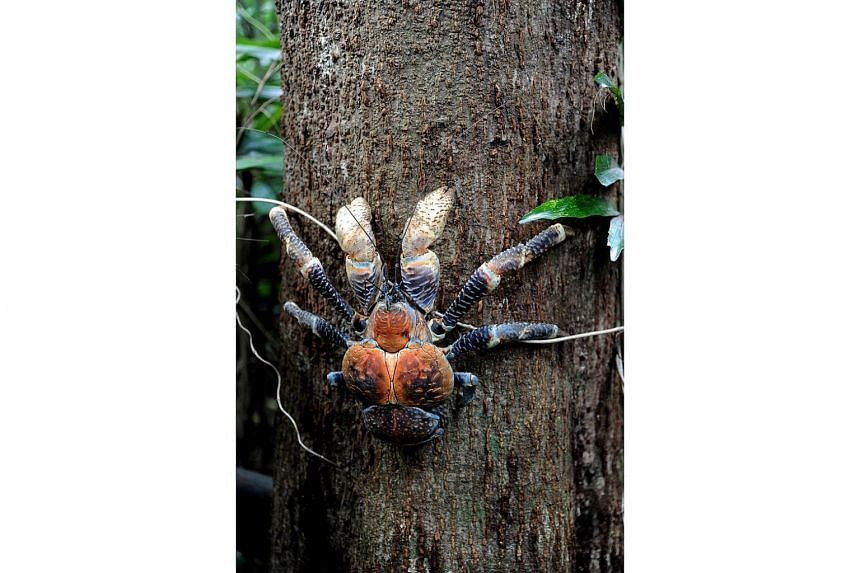 A coconut crab climbing a tree on Christmas Island.