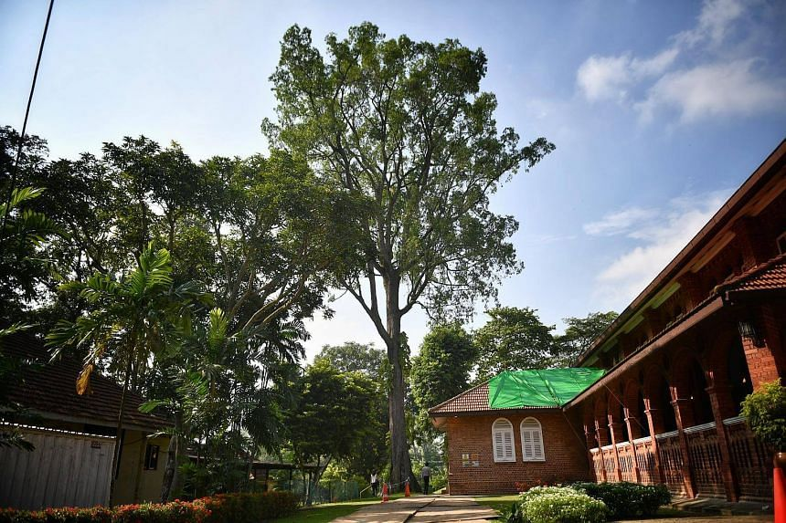 The unhealthy tembusu tree at St George's Church on Nov 16, 2017.