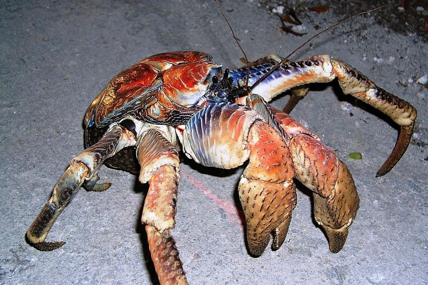 The coconut crab can live for more than 60 years and can weigh up to 4kg.