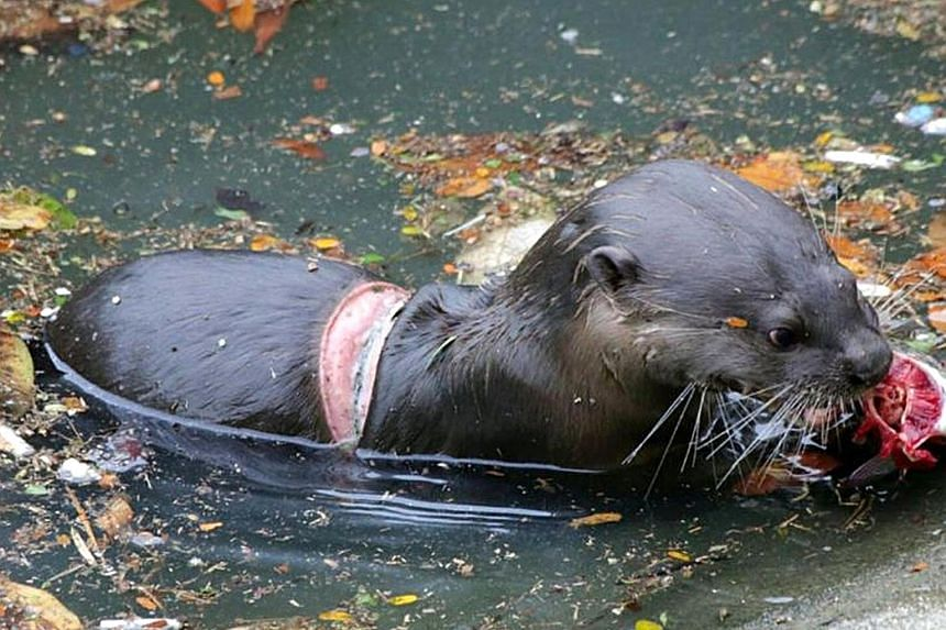 The otter pup that was spotted last month with a wound from a ring around its body was rounded up and treated in a five-hour operation that started at noon yesterday. The young pup was corralled along with six other members of its Pasir Ris family, o