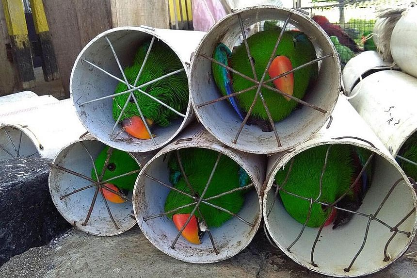 Indonesian police arrested four men after over 100 exotic local birds were found stuffed inside plastic pipes, ready to be smuggled for sale by a suspected wildlife-trafficking ring. The 41 endangered white cockatoos (below) and 84 eclectus parrots w