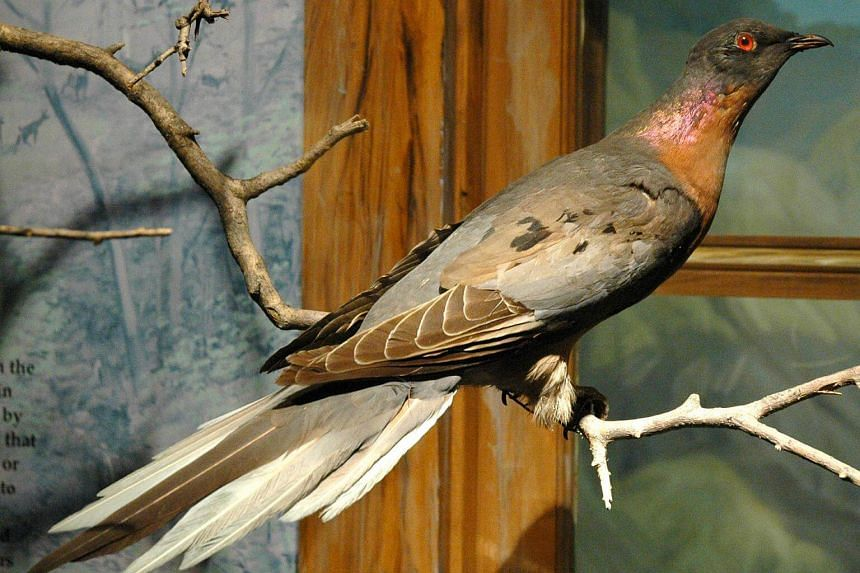 A display of an extinct male passenger pigeon in the Cleveland Museum of Natural History in the United States.