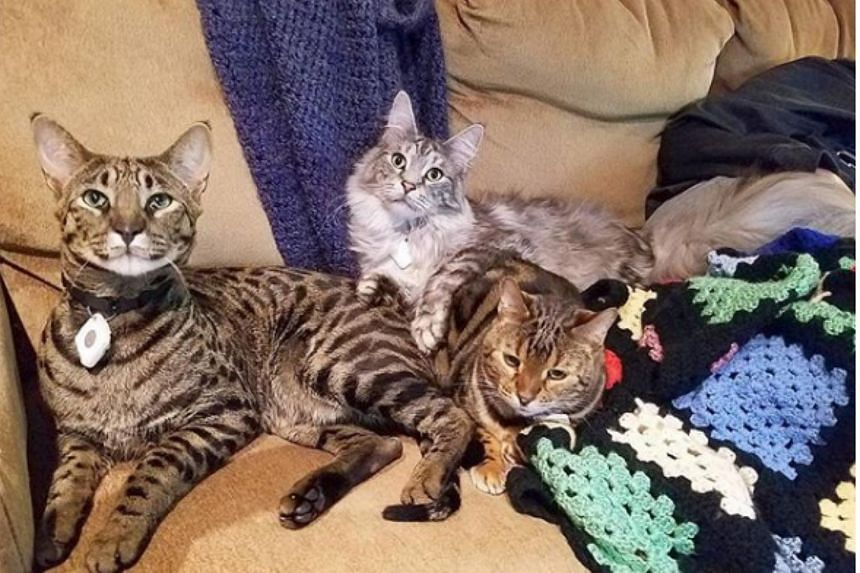 Cygnus, Arcturus, Sirius (above) and a temporary feline houseguest named Yuki went missing following a fire that destroyed their home last week.