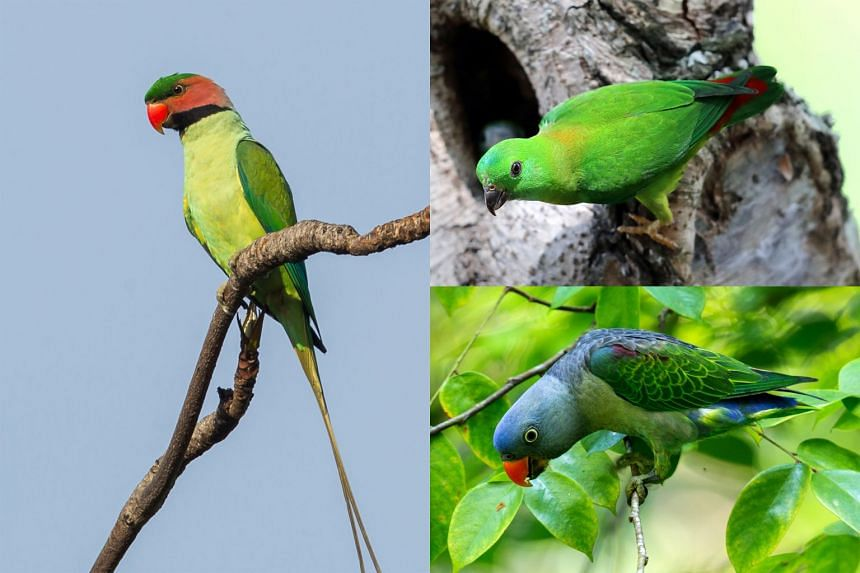 The three parrot species native to Singapore are (clockwise from left)  the long-tailed parakeet, the blue-crowned hanging parrot and the critically endangered blue-rumped parrot.
